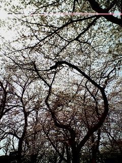 お花見ヽ(<br />  ´▽`)/